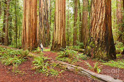 Witness History - Massive Giant Redwoods Sequoia Sempervirens In Redwood National Park. Poster