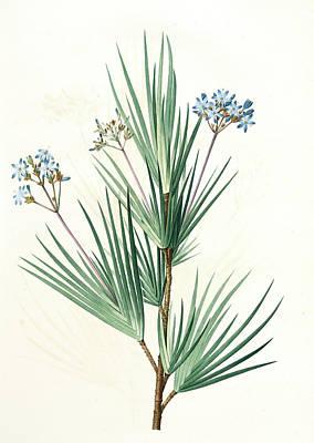 Witsenia Corymbosa, Nivenia Corymbosa  Witsenia Panicule Poster by Artokoloro