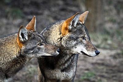 Wolf Alert Poster by Steve McKinzie