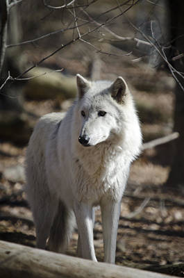 Timber Grey Wolf Poster
