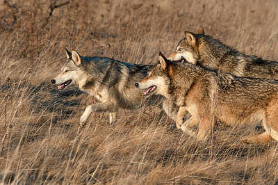 Wolf Pack Poster by Cheryl Schneider
