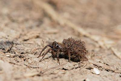 Wolf Spider Carrying Spiderlings Poster