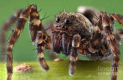 Wolf Spider Poster by Matthias Lenke