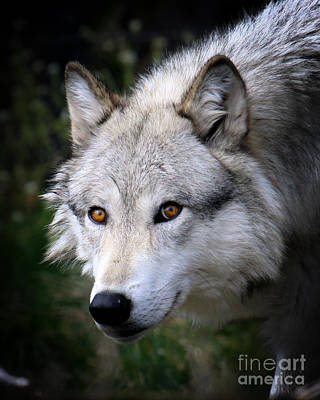 Poster featuring the photograph Wolf Stare by Steve McKinzie