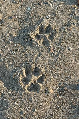 Wolf Tracks Poster by Dr P. Marazzi