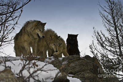 Wolves-animals-image 4 Poster by Wildlife Fine Art