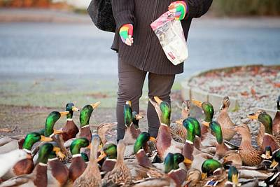 Woman Feeding Mallard Ducks Poster