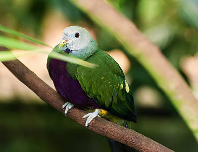 Wompoo Fruit Dove Poster by Chris Flees