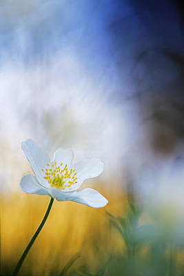 Wood Anemone Flower Switzerland Poster by Heike Odermatt