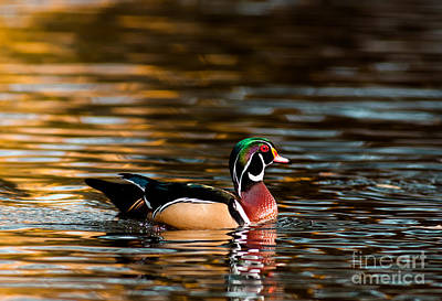 Wood Duck At Morning Poster by Robert Frederick