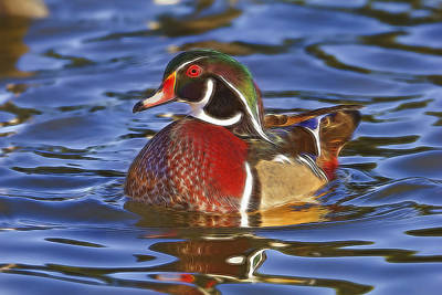 Poster featuring the photograph Wood Duck  by Brian Cross