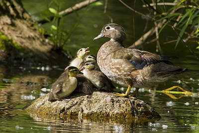 Wood Duck Family Poster by Mircea Costina Photography
