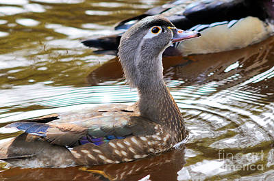 Wood Duck - Female Swimming Poster by Terry Elniski