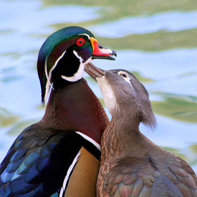 Wood Duck Love Poster