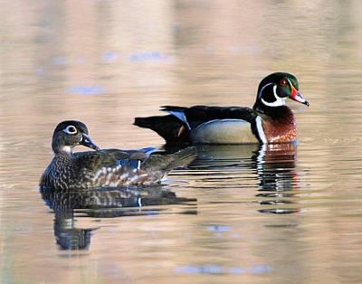 Wood Duck Pair In Kettles Poster