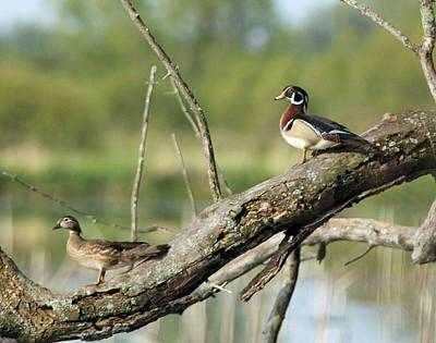 Wood Duck Pair In Tree Poster