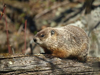 Poster featuring the photograph Woodchuck by James Peterson