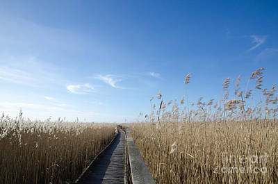 Wooden Footpath In The Reeds Poster