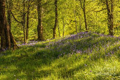 Woodland Of Bluebells Poster by Amanda Elwell