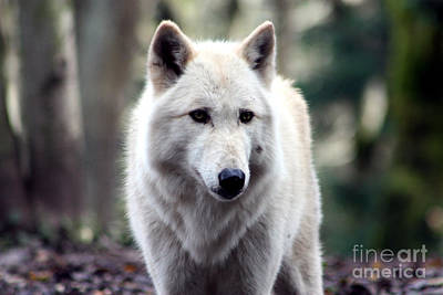 Woodland White Wolf Poster