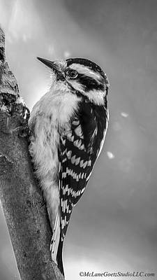 Woodpecker Black And White Poster