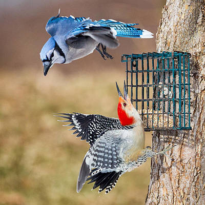 Woodpeckers And Blue Jays Square Poster by Bill Wakeley