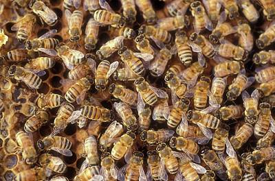 Worker Bees On A Honeycomb Poster