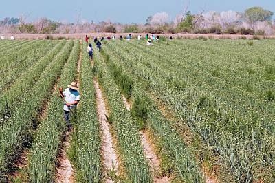 Workers Tending Crops Poster