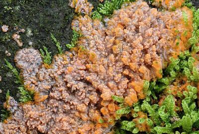 Wrinkled Crust Fungi Poster by Nigel Downer