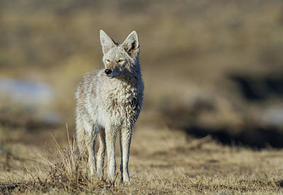 Wyoming, Sublette County, Coyote Poster by Elizabeth Boehm