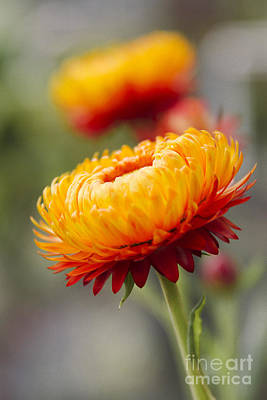 Xerochrysum Bracteatum - Golden Everlasting - Strawflower - Asteraceae - Hawaii Poster by Sharon Mau