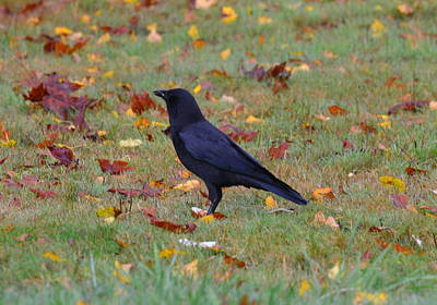 Yard Crow Poster by Jeri lyn Chevalier