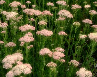 Yarrow Field Poster by Gothicrow Images