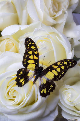 Yellow And Black Butterfly Poster