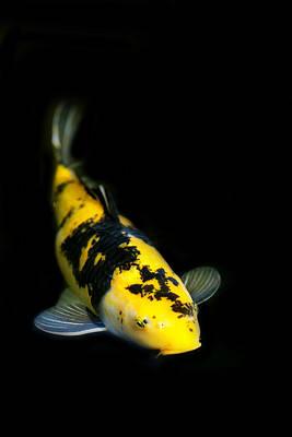Yellow And Black Koi Poster