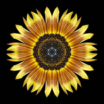 Yellow And Brown Sunflower Flower Mandala Poster