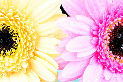 Yellow And Pink Daisy  Poster