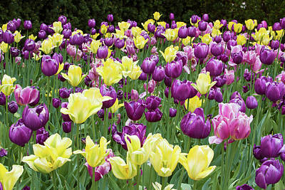 Yellow And Purple Tulips Blooming Poster