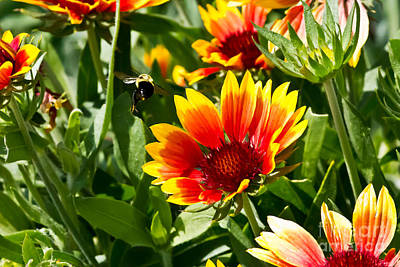 Yellow And Red Gaillardias And Bee Poster