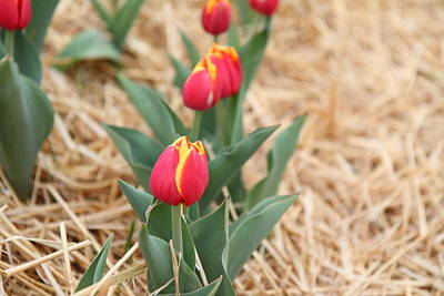 Yellow And Red Tulip - 01132 Poster by DC Photographer