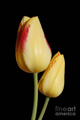 Yellow And Red Tulips  Poster
