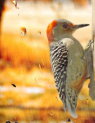 Yellow-bellied Woodpecker Poster