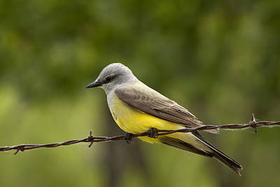 Yellow-bellied Fence-sitter Poster