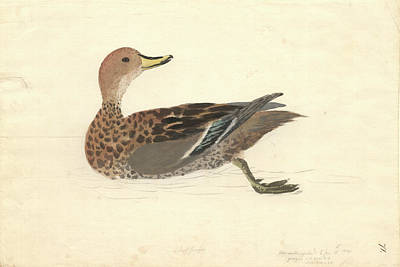 Yellow-billed Pintail Poster by Natural History Museum, London