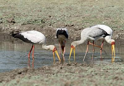 Yellow-billed Storks Foraging Together Poster by Tony Camacho