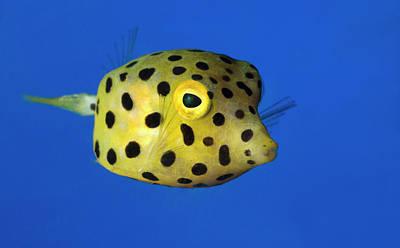 Yellow Boxfish Poster by Nigel Downer
