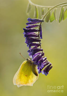 Yellow Buttefly On Violet Hanging Flowers Poster
