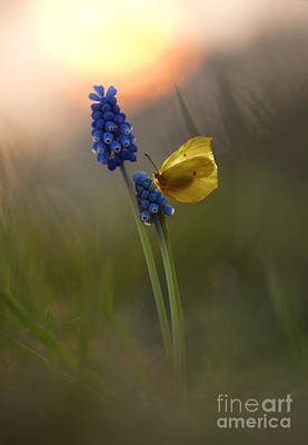 Yellow Butterfly On Grape Hyacinths Poster by Jaroslaw Blaminsky