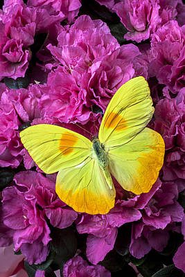 Yellow Butterfly On Pink Azalea Poster by Garry Gay