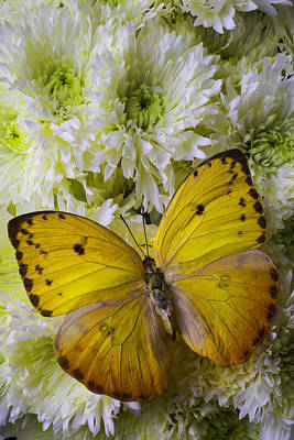 Yellow Butterfly On Pom Poms Poster